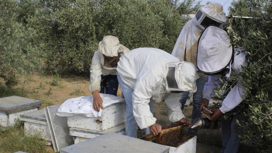 La amarga cosecha de apicultores de miel en Gaza por fuerte caída producción