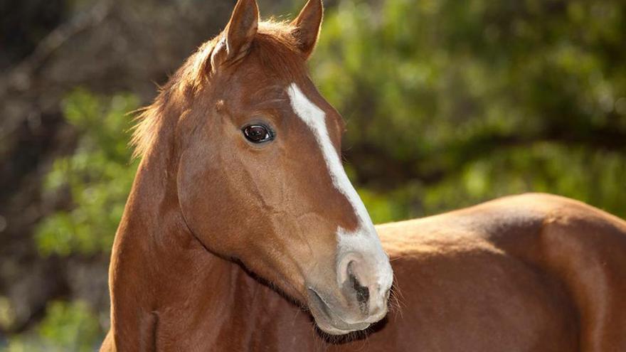 Tacho, caballo rescatado de jineteadas por el Santuario Equidad. Rosario (Argentina)