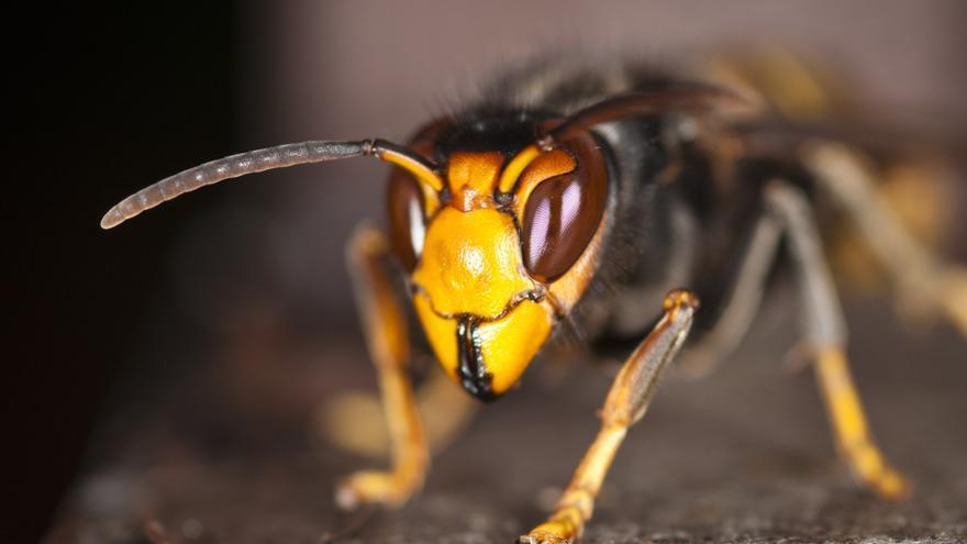 Ejemplar de avispón asiático o 'Vespa velutina'