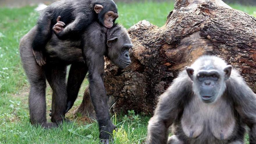 Los chimpancés, como los humanos, hacen las cosas como su madre les enseña