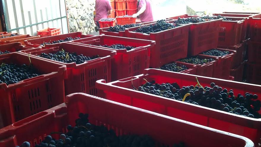 El 50% de la cosecha de uva recolectada por las 19 bodegas elaboradoras acogidas a la Denominación de Origen de Vinos La Palma, ha correspondido a variedades tintas, frente al otro 50% que corresponde a variedades blancas.