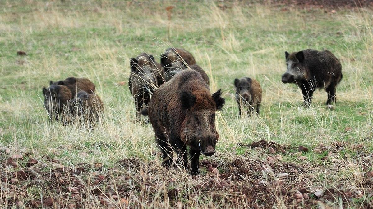 Extremadura regulará la modalidad de caza al salto del jabalí