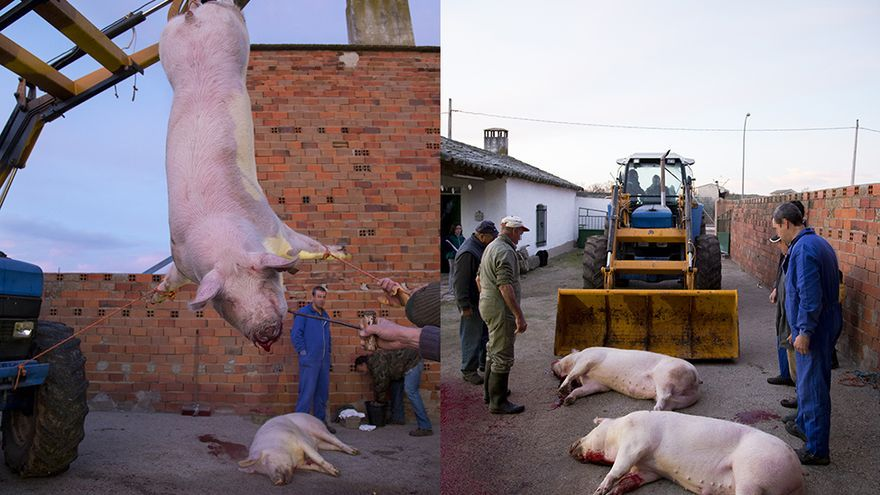 Matanza del cerdo en Toledo, sin aturdimiento, tractor conducido por un menor. Foto: Tras los Muros