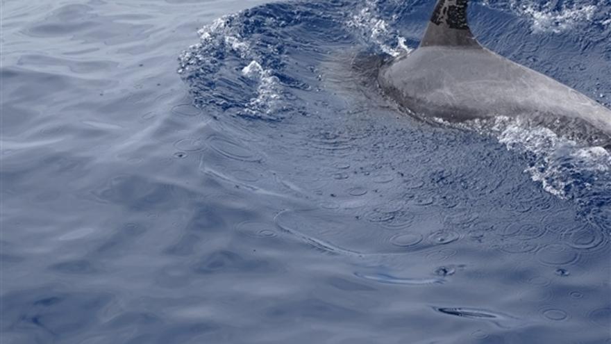 Ejemplar de delfín mular adulto manchado de fuel