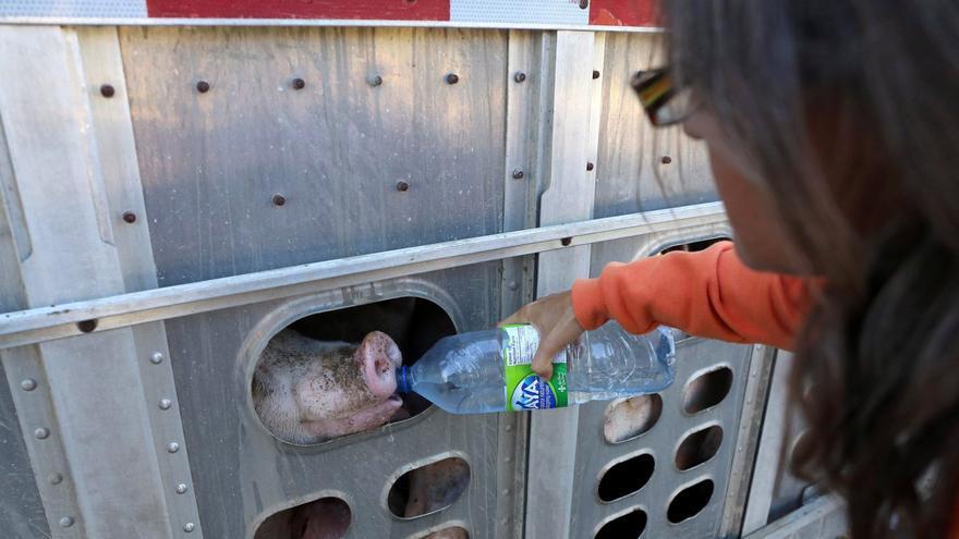Anita Krajnc dando agua a uno de los cerdos conducidos al matadero. Foto: Toronto Pig Save