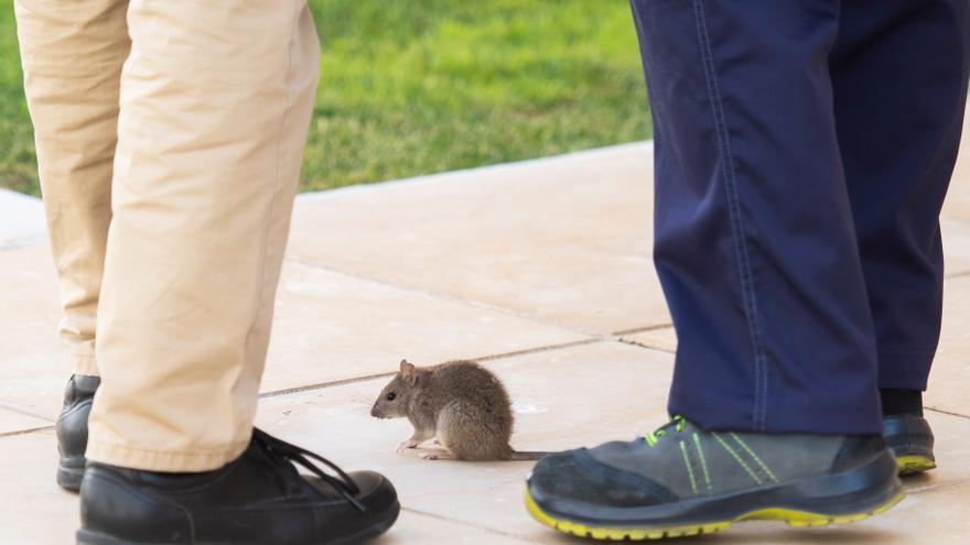 Una rata irrumpe en salón de plenos del Parlamento andaluz y para la sesión