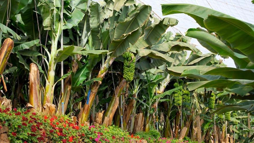 Imagen de archivo de una finca de plátanos en Tenerife.