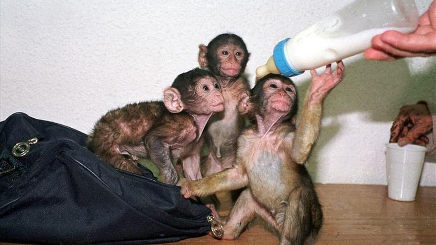 A los monos en Marruecos los matan por diversión, según defensores animales