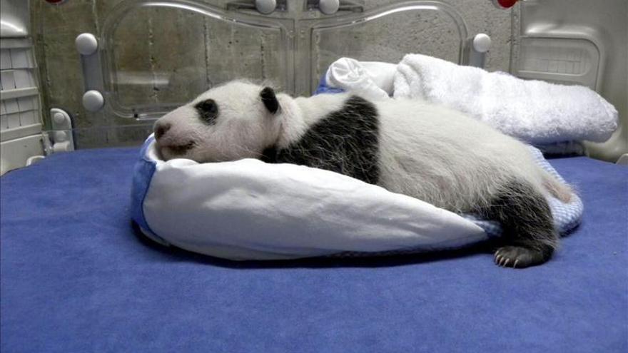 La cría de oso panda gigante cumple dos meses y se presenta en sociedad en el Zoo Aquarium
