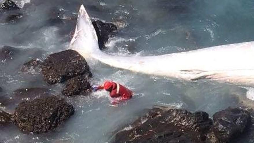 En la imagen, un miembro del Grupo de Rescate Sub-acuático del Parque de Los Sauces de Bomberos La Palma realiza los amarres necesario del cadáver del cetáceo varado en en la zona del Charco Azul. Foto: BOMBEROS LA PALMA.