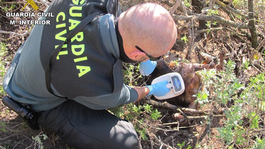 La Guardia Civil examina a uno de los canes encontrados en Gran Canaria.