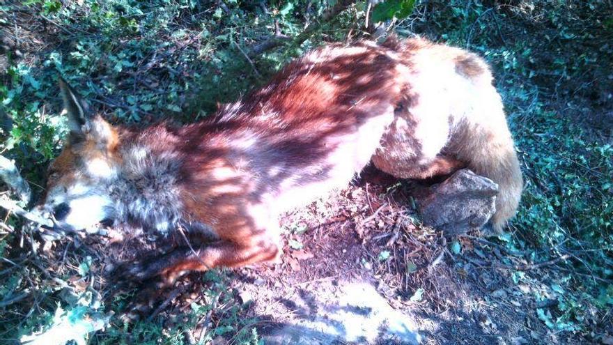 Un zorro muerto en un lazo/APAM