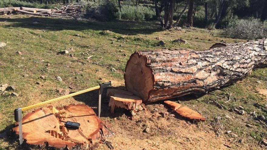 Ejemplar serrado en la Sierra Oeste. /UGT-Forestales.