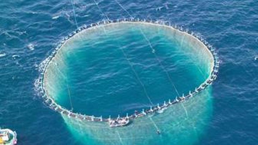 Liberan por primera vez en la Región de Murcia el exceso de atún rojo enjaulado