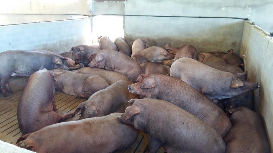 La cabaña porcina lleva años creciendo a un ritmo de 6.000 cabezas semanales en Aragón.