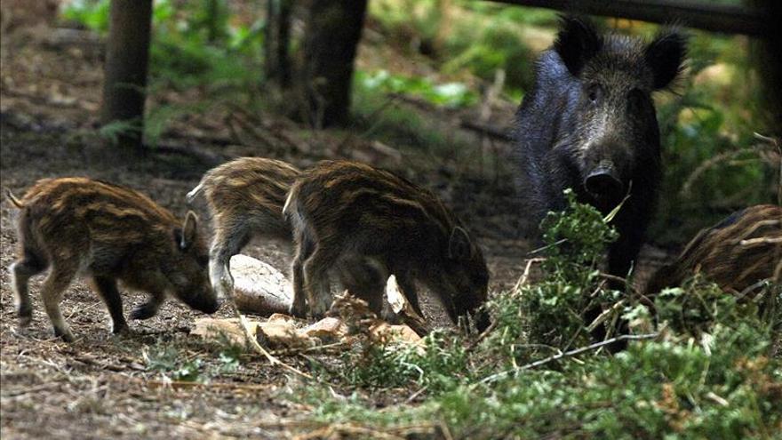 """Piden a Page derogar la """"cruel"""" caza de jabalíes con lanza, legalizada en 2012 por Cospedal"""