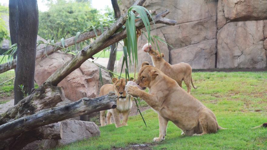 Los leones del Bioparc disfrutan de un helado para combatir las altas temperaturas