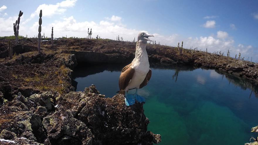 Puiquero de patas azules, una de las joyas de Galápagos.