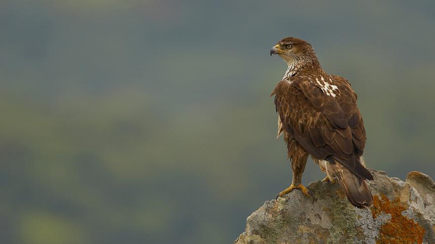 Águila perdicera, una especie en peligro.
