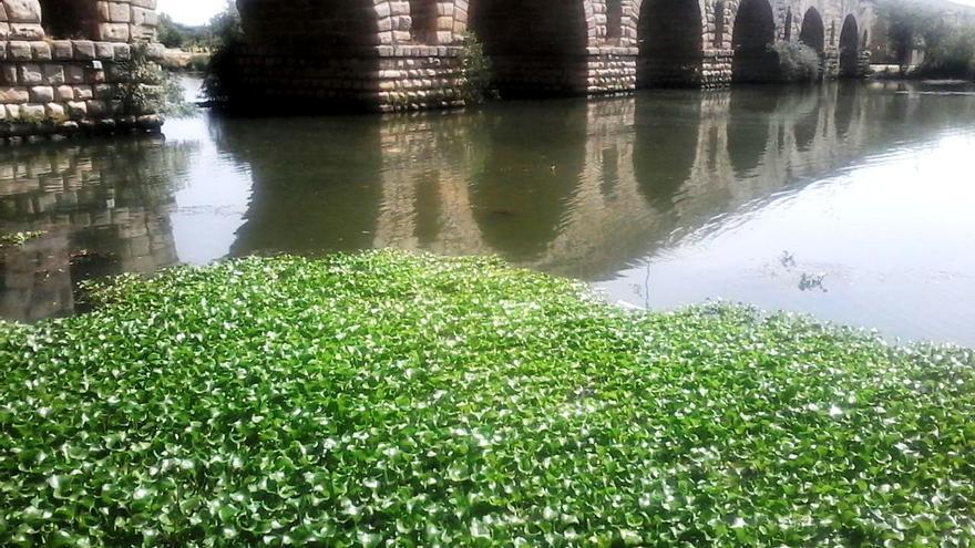 Esta planta invasora, procedente del Amazonas, se deja ver por el Guadiana a su paso por Mérida