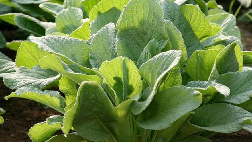 La borraja, en la imagen, tiene efectos protectores contra el cáncer, según un estudio. Fotografía tomada de la web jardinplantas.com.