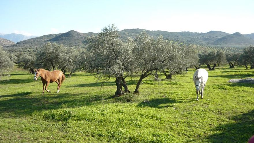 Olivo con caballos, finca La Torre, Antequera (Málaga) / Foto: Alexandra Sumasi