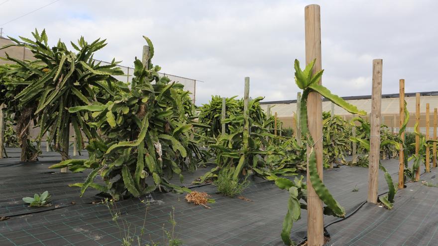 Cultivo de pitahaya en la Granja Experimental del Cabildo de Gran Canaria.