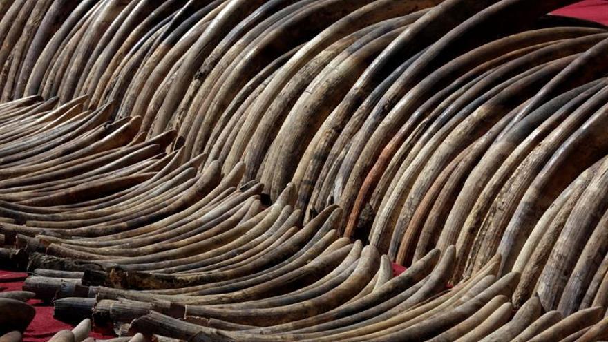 La Policía de Vietnam se incauta de 2.748 kilos de colmillos de elefantes africanos