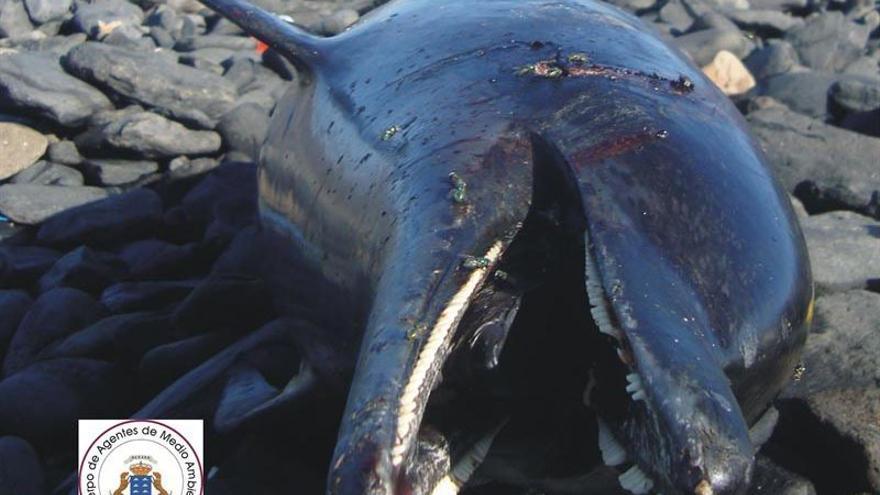 Aparecen dos delfines muertos en la costa de Fuerteventura.