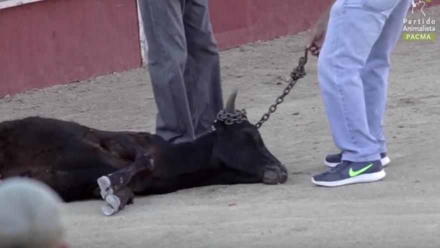 Captura de un vídeo de Pacma de la becerrada en Valmojado (Toledo).
