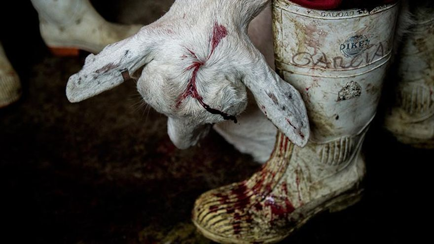 Cabra matada con un tiro en la cabeza. Matadero Tehuacán. Puebla, México. Foto: TrasLosMuros.com