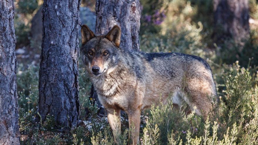 """Junta destaca que la Comisión Europea """"respalda"""" las medidas adoptadas en Andalucía para abordar la situación del lobo"""