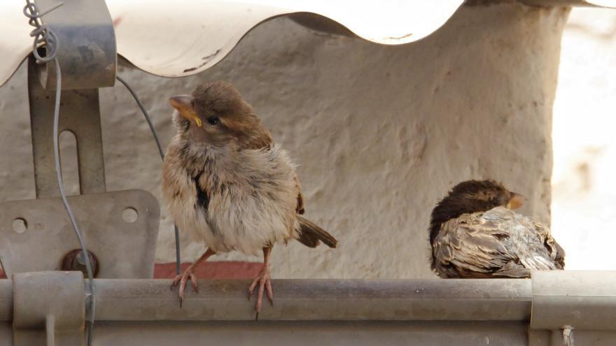Gorriones en el tejado de casa de una de las participantes en Aves desde casa.