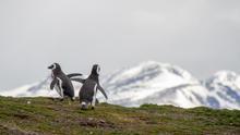 Pingüinos en una de las islas del Canal Beagle, Tierra del Fuego. CucombreLibre