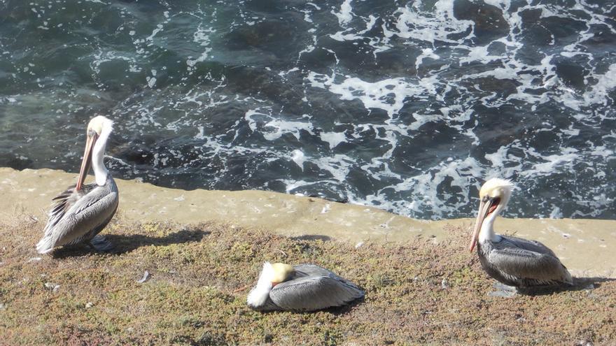 Pelícanos en Viña del Mar, Chile