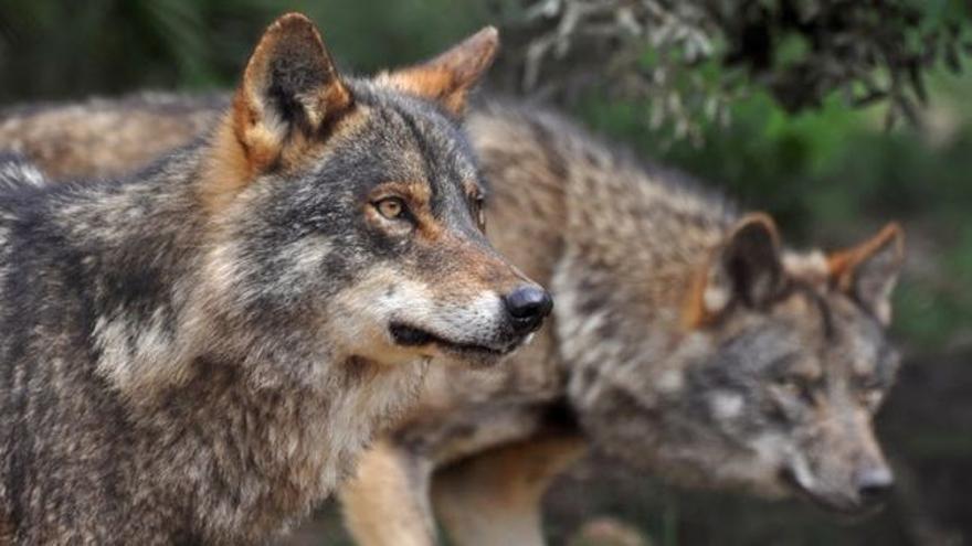 Lobo ibérico /Fotografía cedida por Ecologistas en Acción de José Antonio Maldonado