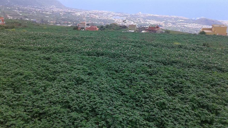 Parcela sembrada de papa en los altos de La Orotava, en el barrio de Benijos