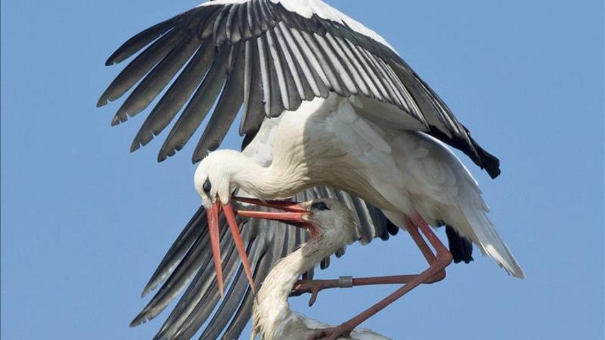 Las cigüeñas españolas se contaminan con pesticidas en su migración a África