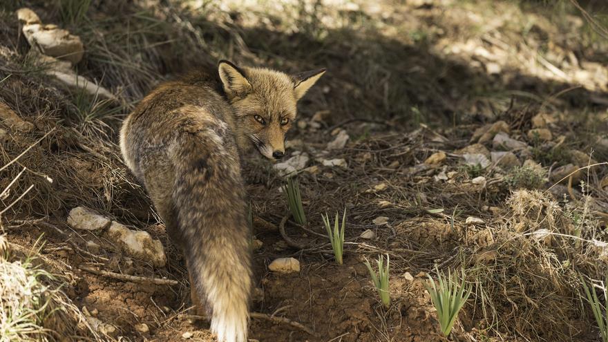 Las Sierras de Cazorla, Segura y las Villas es uno de los mejores lugares de Europa para ver animales salvajes en libertad. Ramón Portellano