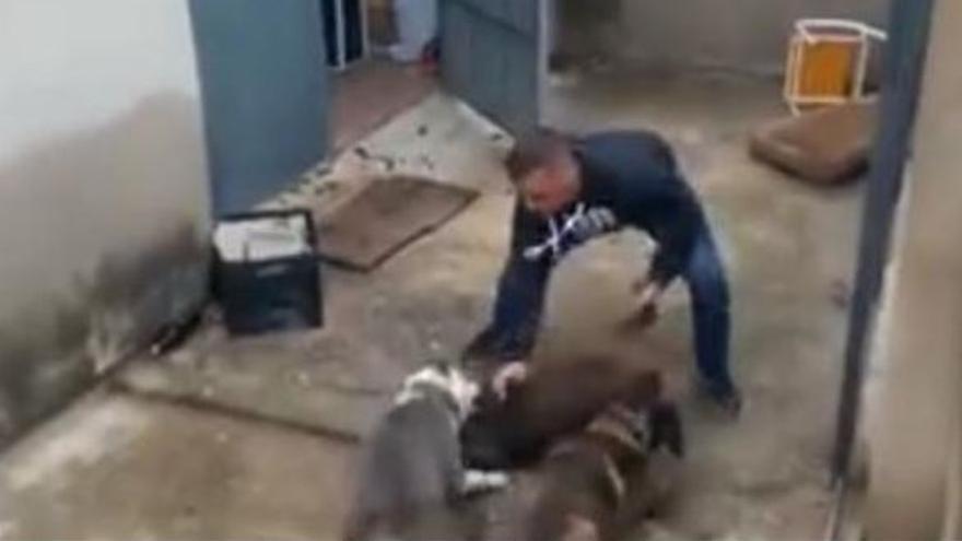 Dos perros atacan un jabato en Simat de la Valldigna (Valencia)