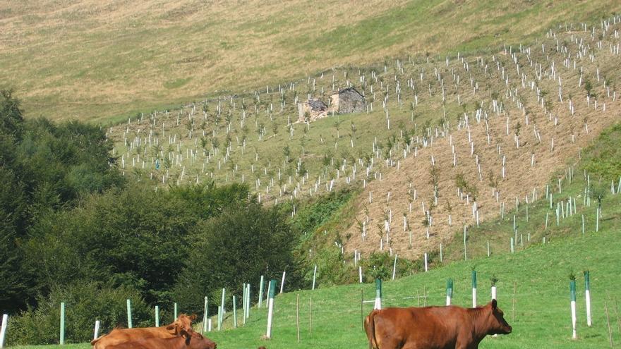 El Gobierno establece medidas extraordinarias contra la brucelosis bovina en Cantabria