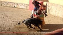 En la imagen, capturada del vídeo en YouTube de un tentadero, se aprecia cómo un becerro es picado, lo que le produce dolor y temor intensos. El caballo también sufre en los tentaderos y demás prácticas taurinas