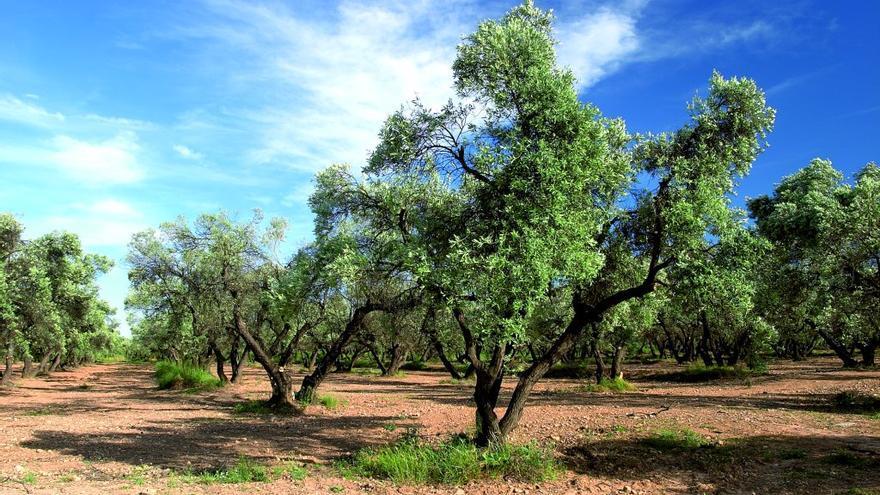 La 'Xylella' amenaza al olivar español /MAGRAMA