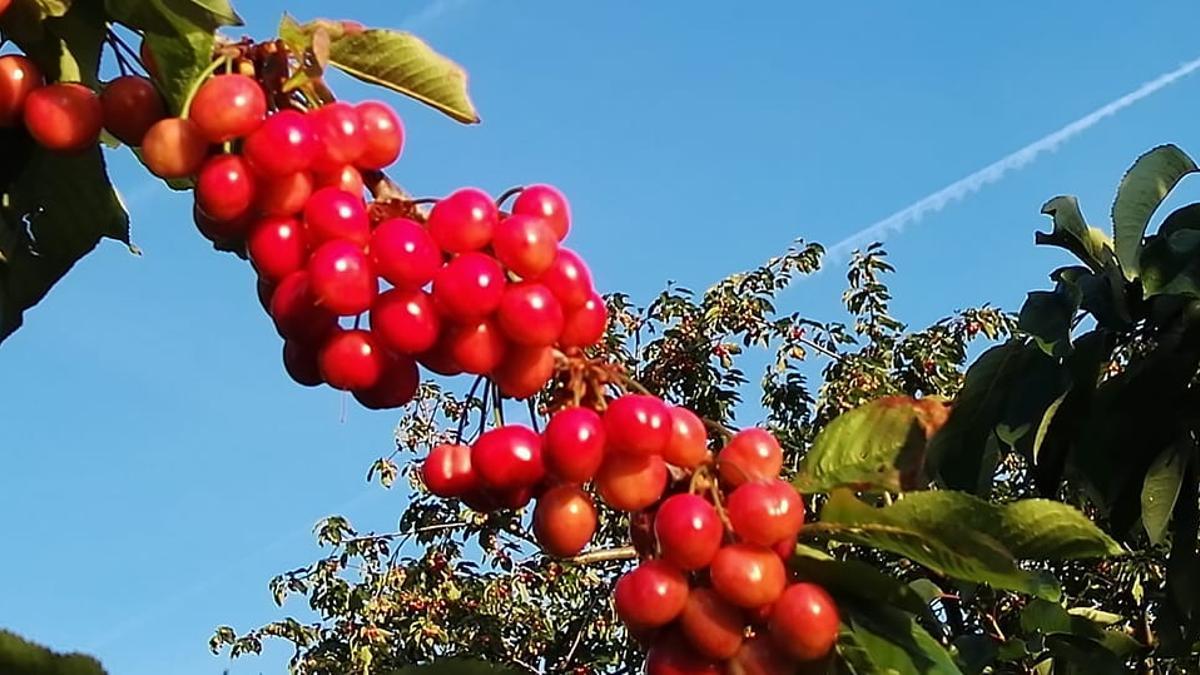 Recolección de cerezas en el Valle del Jerte