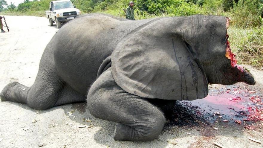 Elefante recién cazado y su marfil arrancado violentamente. Foto: Parc National des Virunga