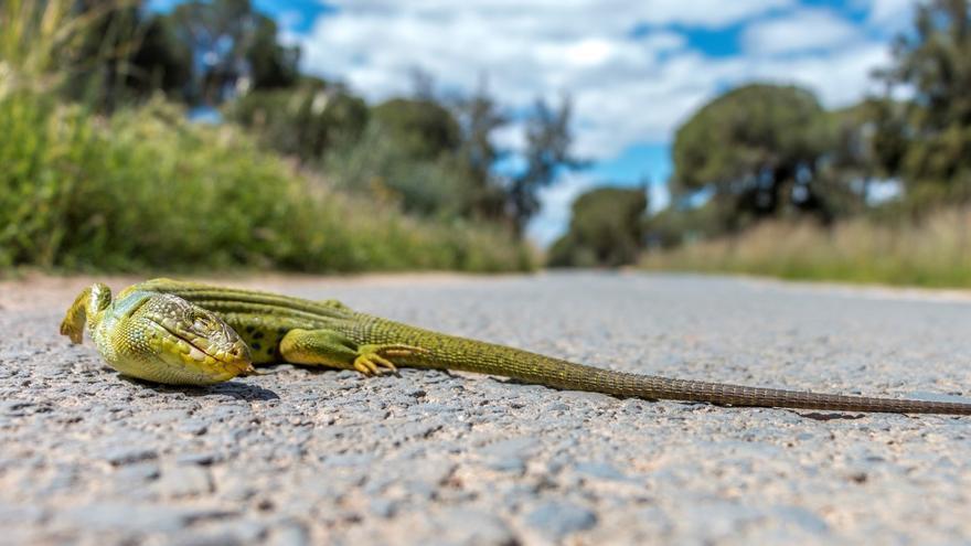Lagarto ocelado (Timon lepidus) atropellado en una carretera.