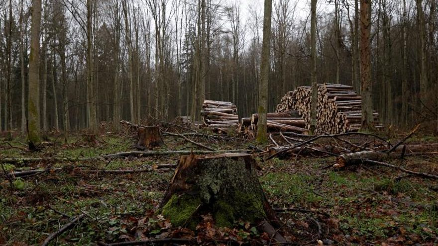 Piden a Europa no quitar la madera muerta de bosques y evitar reforestaciones