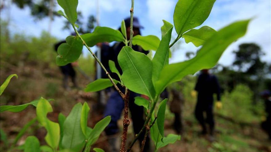 El área cultivada de coca en Colombia creció un 44 por ciento en 2014, asegura UNODC