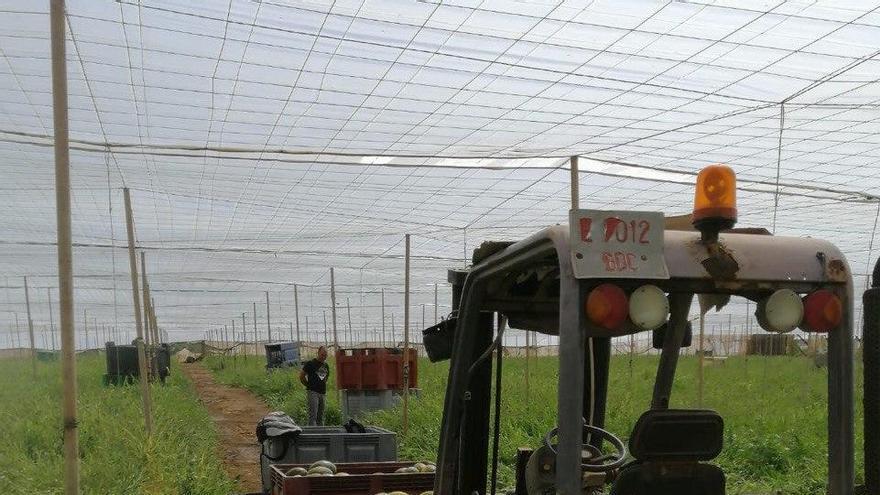 Tractor en un cultivo de invernadero de melones y sandías.
