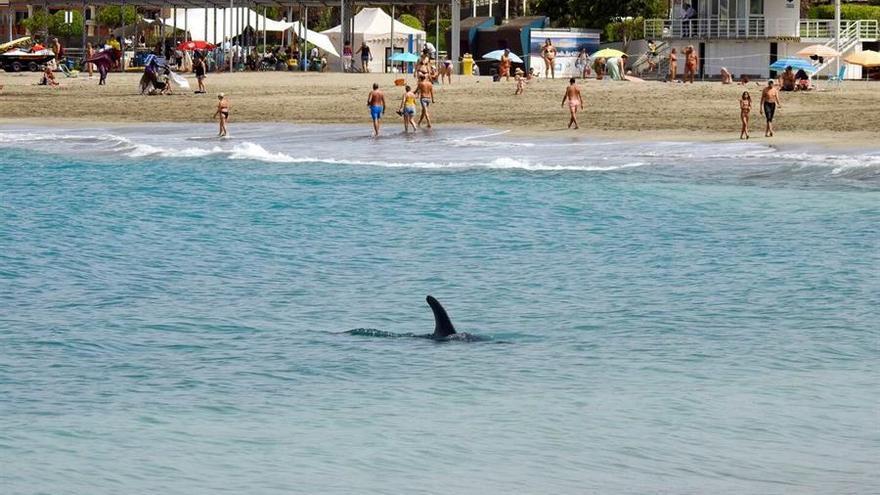 La reproducción submarina de sonidos de orca ayudará a alejar de la orilla al delfín afincado en Adeje